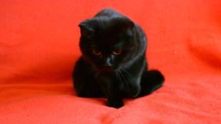 Предлагаем: Шикарная шотландская кошечка черного окраса.