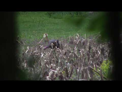 Double Bearded Pennsylvania Gobbler: TSS Rocked Him!