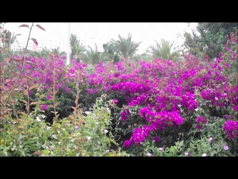 The Spring Time Quest for Bougainvillea in Agadir.wmv