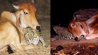 The leopard visits this cow at night. You'll be surprised to learn why!