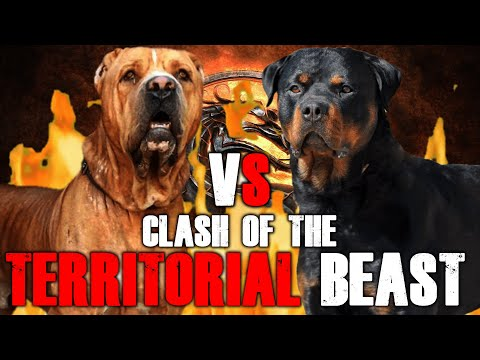 Bully Kutta vs Rottweiler | Pakistani Bully vs Rottweiler | Powerful Guard Dog? | Billa Boyka |