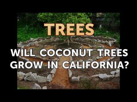 Will Coconut Trees Grow in California?