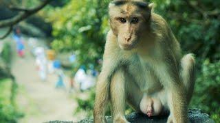 Indian Monkey HD Video. Bandar ka HD Video