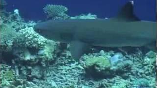 Série Predadores: Tubarões