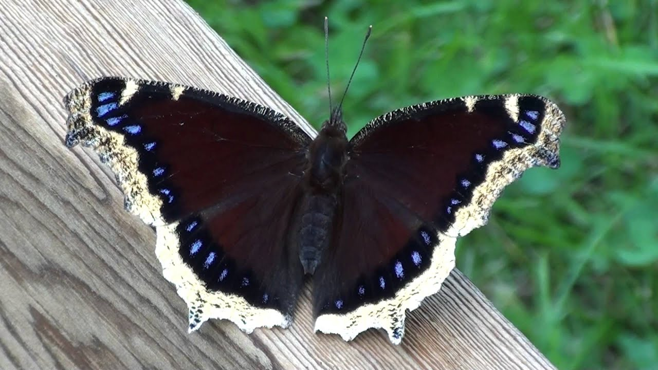 Mourning Cloak Butterfly Nymphalidae Nymphalis Antipoda