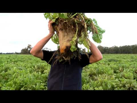 Forage crops for dairy