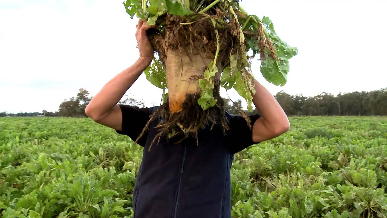 Forage crops for dairy - YouTube