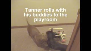 Dachshund - Tanner Gets Some Off-harness Playtime