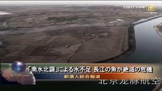 【禁聞】「南水北調」による水不足 長江の魚が絶滅の危機