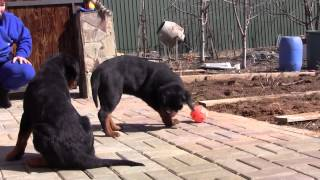 Puppies Rottweiler  Imported Of Russia Now In Egypt
