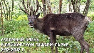 СЕВЕРНЫЙ ОЛЕНЬ В ПРИМОРСКОМ САФАРИ-ПАРКЕ. 8.08.2018 Г.
