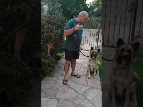 """""""טורי"""" כלב רועים מאולף ומחונך בן שנתיים"""