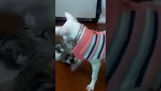 CATS AND DOGS Awesome Friendship - Funny Cat and Dog Vines COMBINATION #shorts