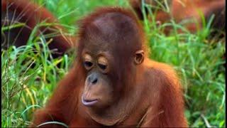 Search and Rescue, Part Two | Orangutan Diary | BBC