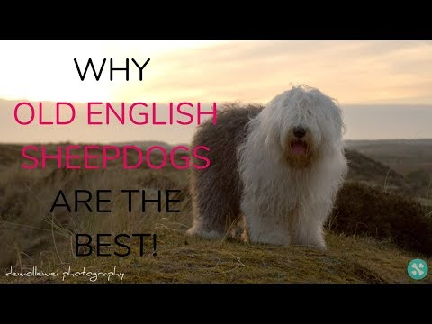Why Old English Sheepdogs Are The Best