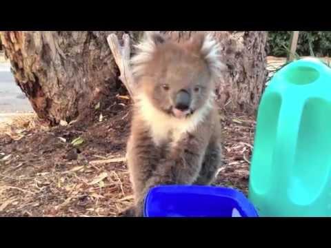 Sneezy, Thirsty koala