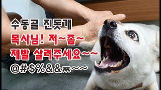 #동물Tv #애완견 진돗개 독감주사 돼지머리영양식 보충