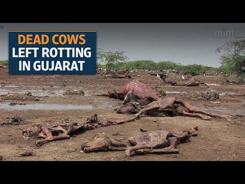 Dead Cows Raise A Stink In Gujarat, Deepen Social Schisms