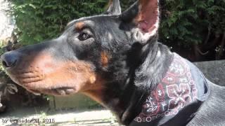Dobermann Hündin Abaddon / Doberman Female Dog Abaddon By Crusader Xl