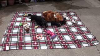 Little Rascals Uk Breeders Dachshund Mummy And Her New Litter :)
