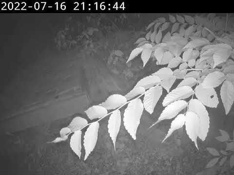 Lady Jane - Canadian Lynx Cam