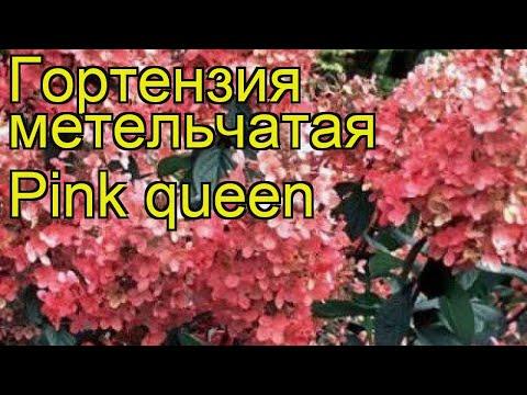Гортензия метельчатая Розовая Королева. Краткий обзор, описание характеристик, где купить саженцы