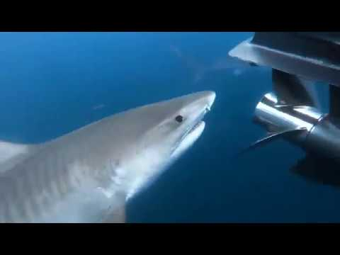 Un requin mange une vache en pleine mer !