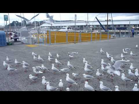 Seagulls at Constitution Dock, Hobart, Tasmania