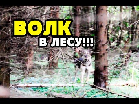волков бояться-в лес не ходить — с русского на английский