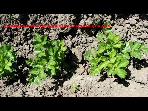 Вопрос: Черешковый сельдерей как вырастить?