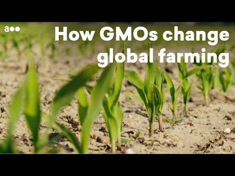 Tomorrow's food: How GMOs change global farming