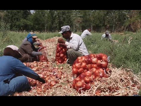 ما هو واقع اللاجئين السوريين العاملين في القطاع الزراعي في الأردن؟ جيران