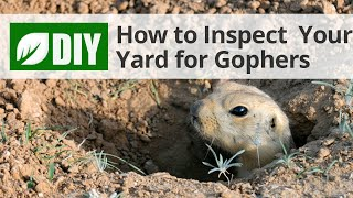 How to Inspect Your Yard for Gophers