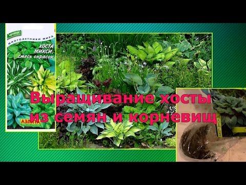 выращивание хосты из семян и корневища(Часть 1)
