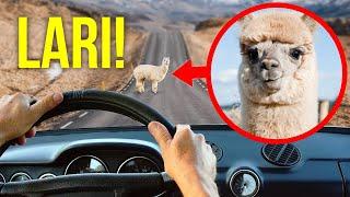 Jika Kamu Bertemu Alpaka Lucu (dan Hewan-Hewan Lucu Tapi Berbahaya Lainnya), Cepatlah Menyingkir!
