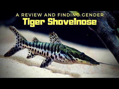 The Monster Predator Catfish... Tiger Shovelnose