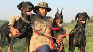 Doberman behaviour feedback by Dog owner. My Dogs my workout partners.