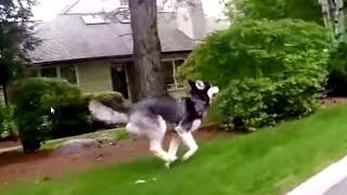 Never Let A Siberian Husky Off Leash?