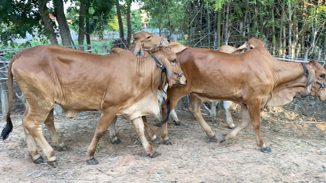 คนเลี้ยงวัวมือใหม่ ความสุขที่เคยมี ตอนนี้มีความเสียวมาด้วย นอนไม่หลับเพราะไวรัสร้าย ลัมปีสกิน