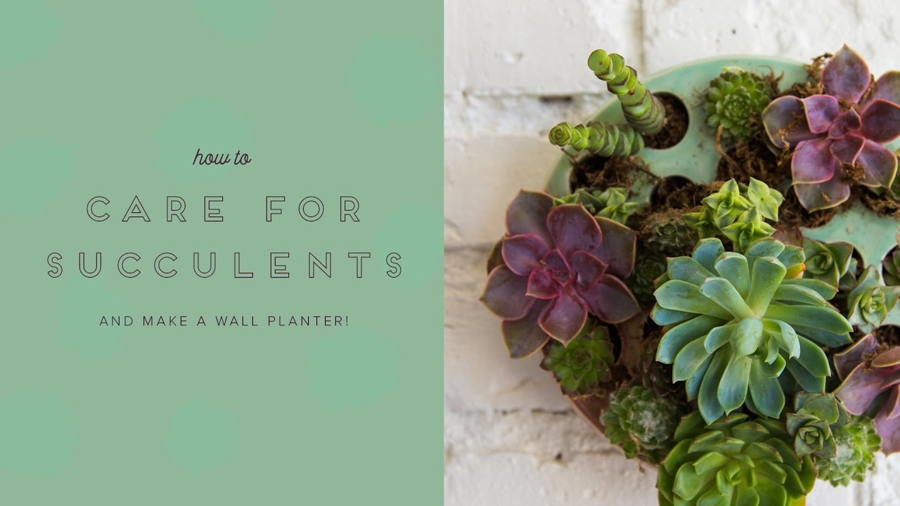 How To Care For Succulents Make A Succulent Wall Planter Youtube