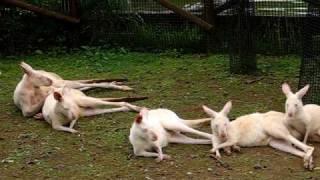 10万頭に1頭しか生まれない貴重な白いカンガルー The precious white k...