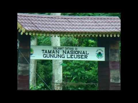 Bukitlawang Orangutans North Sumatra Indonesia