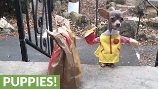 Chihuahua adorably delivers fast food to home