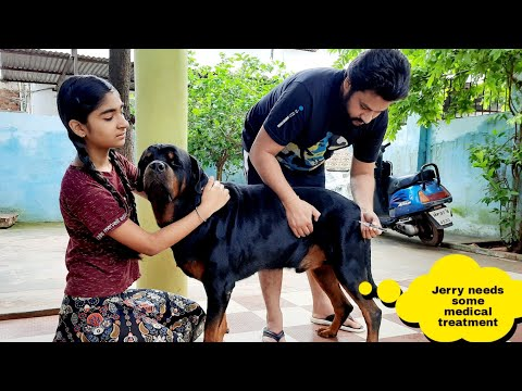 my dog jerry is not well today/cute dog||funny dog videos||rottweiler dog