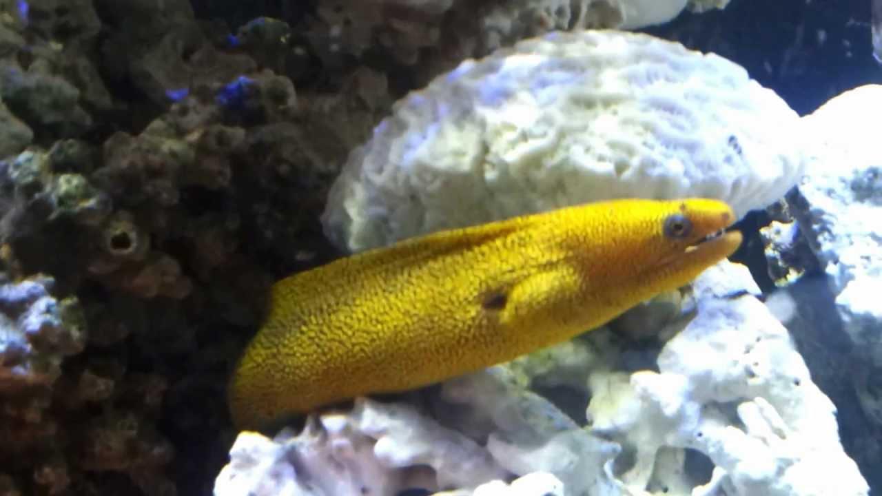 goldentail moray eel youtube