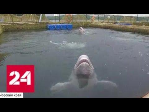 Возвращение домой: косатки и белухи покидают свою тюрьму в Приморье - Россия 24