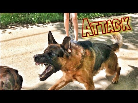 German Shepherd was attacked by a Boxer dog