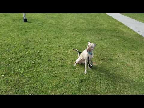 dog training. whippet . offleash obedience