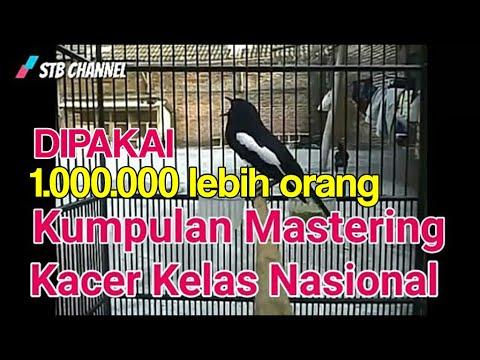 Masteran Kacer Juara Nasional Full isian gereja tarung,kapas tembak ,lovebird, kenari, cucak jenggot