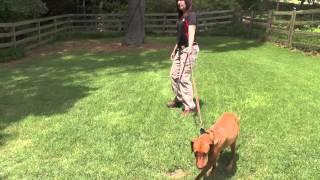 Dog Training, Luna, Vizsla, Day 1: Evaluation Walk and Play